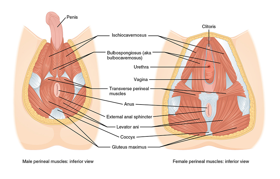 anatomical drawing of the pelvic floor muscles