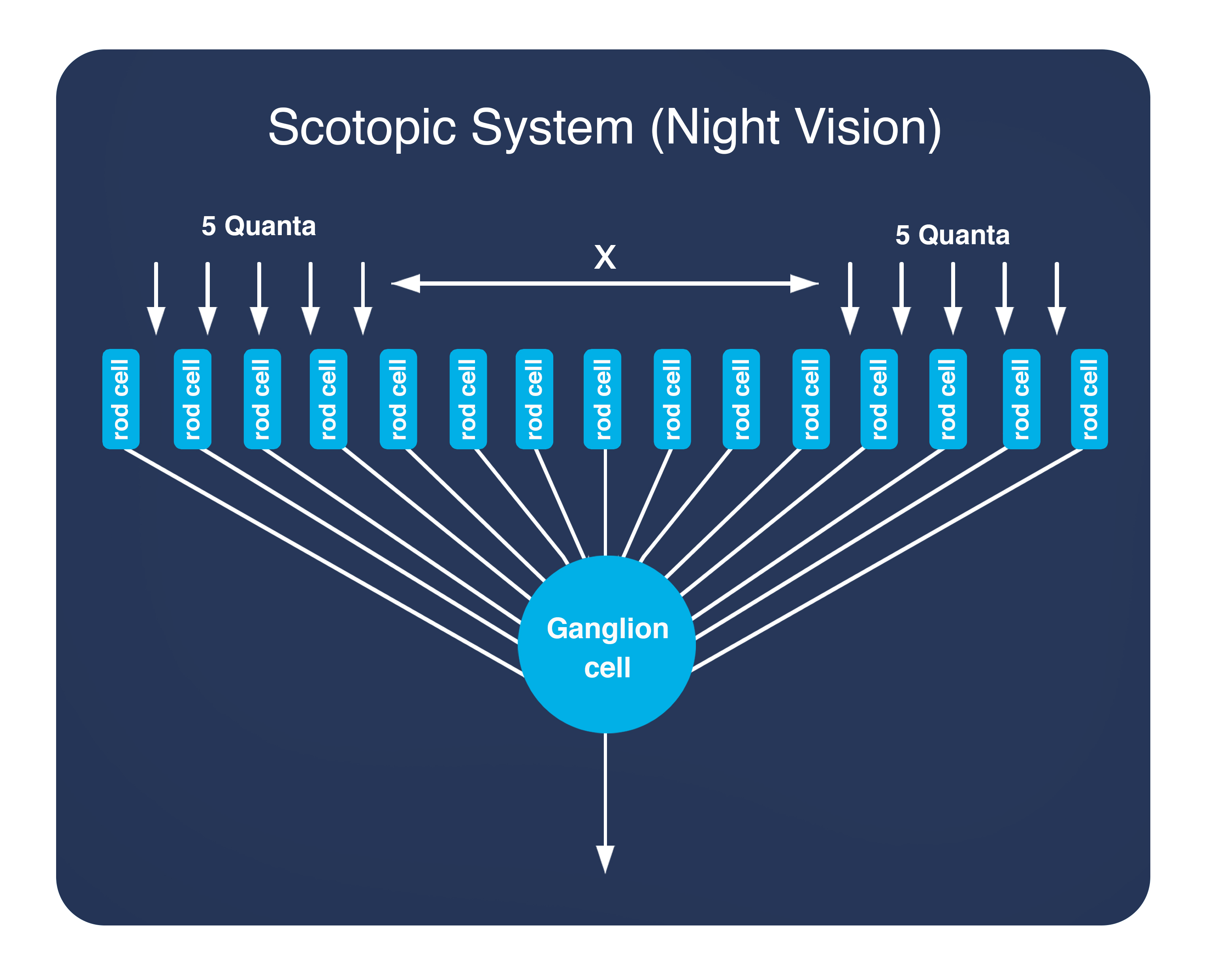 Scotopic Vision (Night Vision)