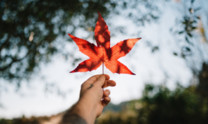 A hand holding up a maple leaf