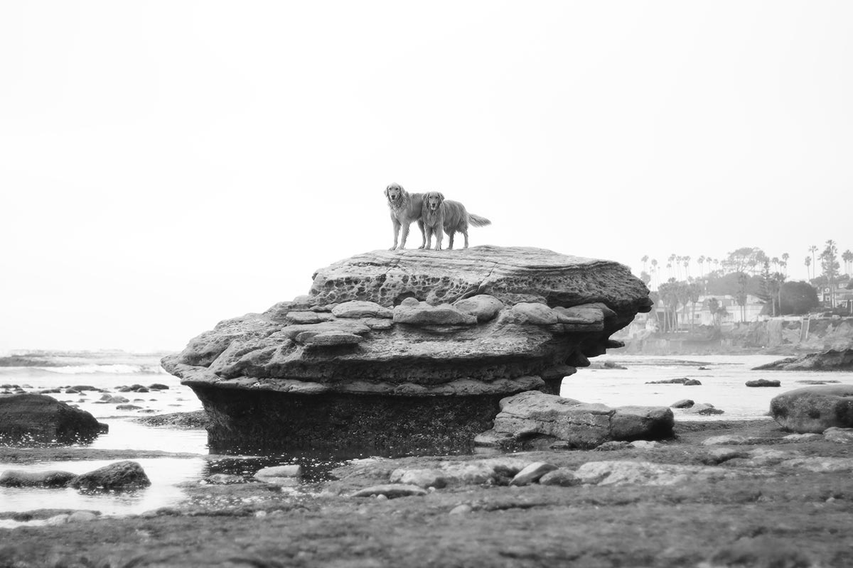 Photo of James' two golden retrievers, Honey and Marley, at Bird Rock Beach in La Jolla, California