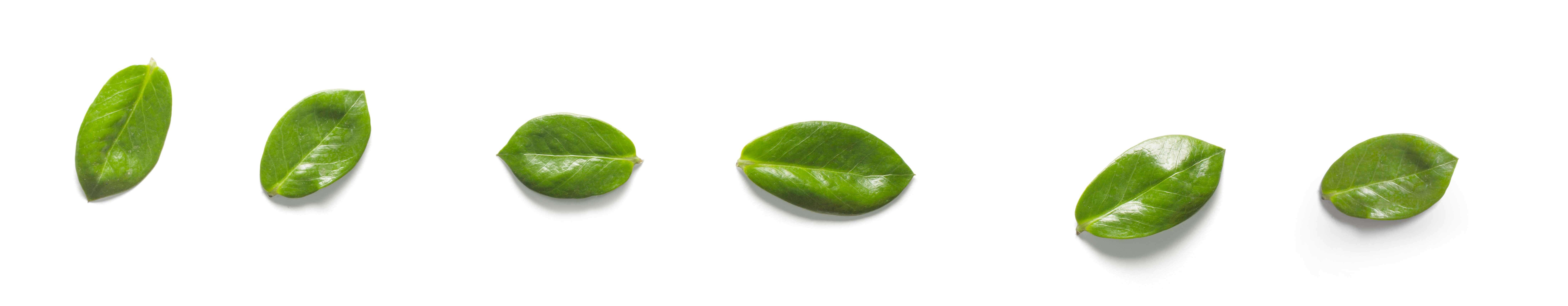 sei foglie poste in fila orizzontale di colore verde su sfondo bianco