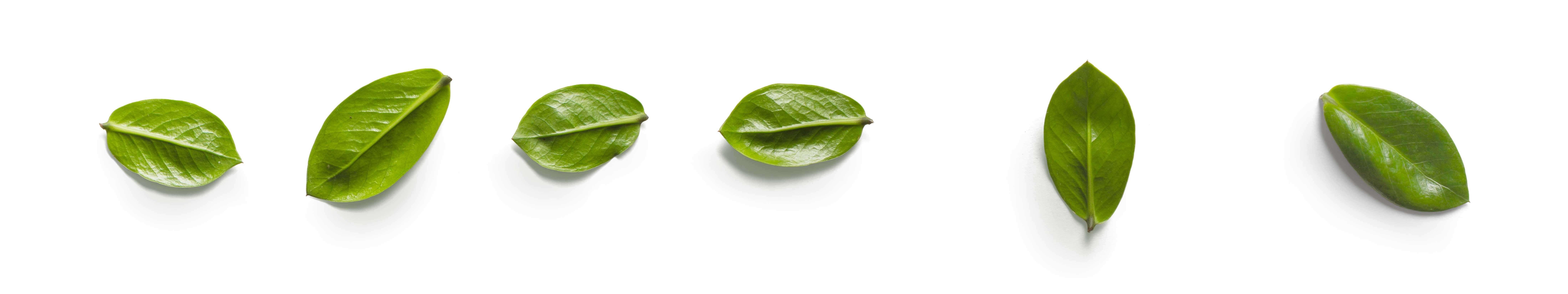 sei foglie in fila orizzontale di colore verde su sfondo bianco