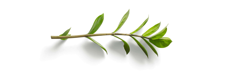 ramo di un albero spezzato su sfondo bianco