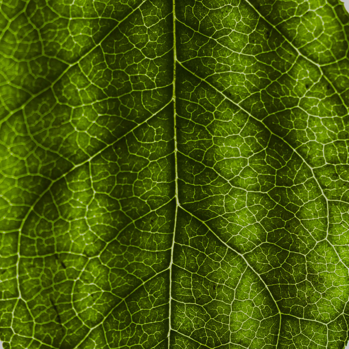 Green leaf veins closeup