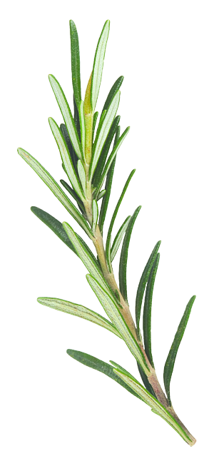 Rosemary Illustration