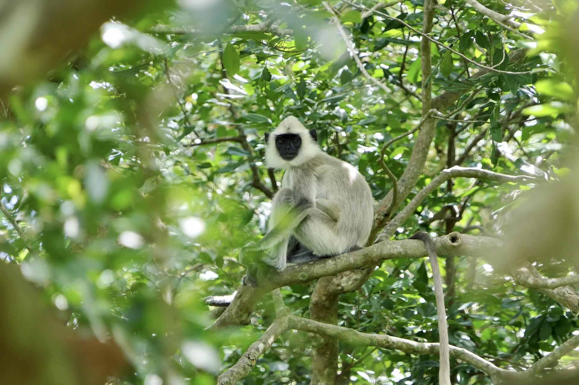 Langur in Sri Lanka