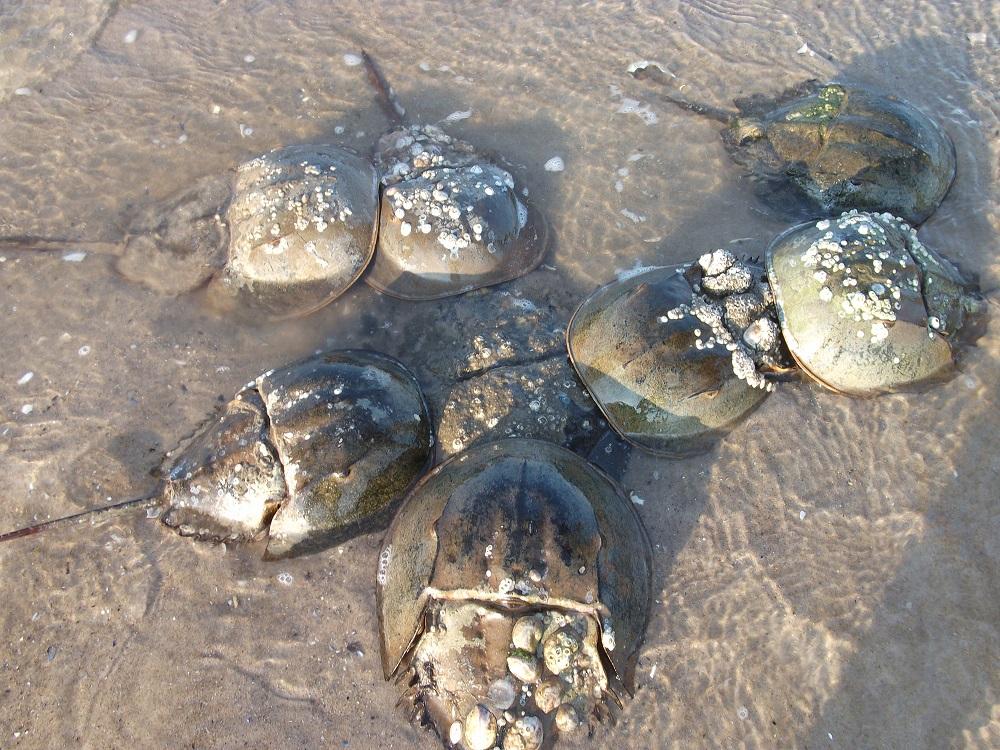 Spawning activity of horseshoe crabs at Plumb Beach, Jamaica Bay,New York City. Photo: Dr. Mark Botton