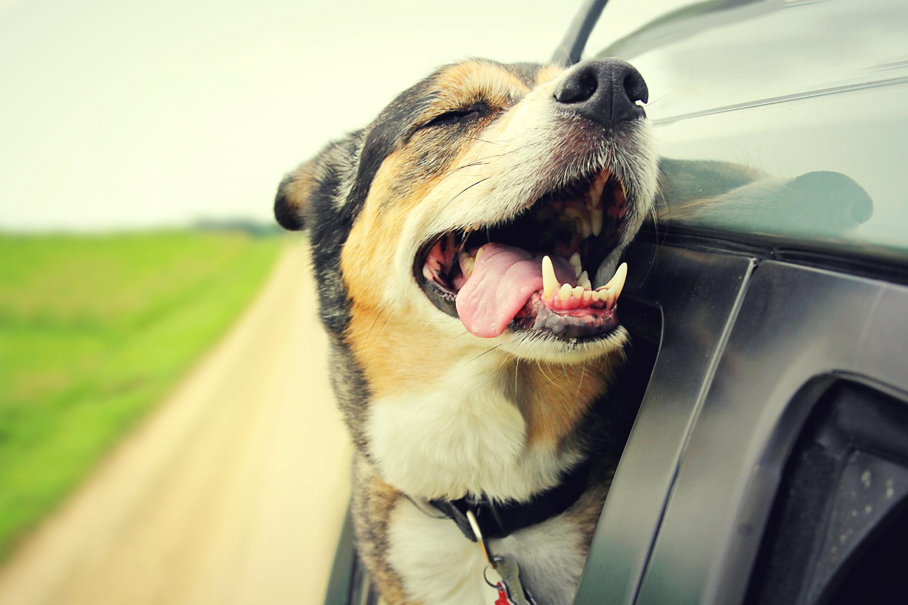 Hund hält die Schnauze aus dem Fenster