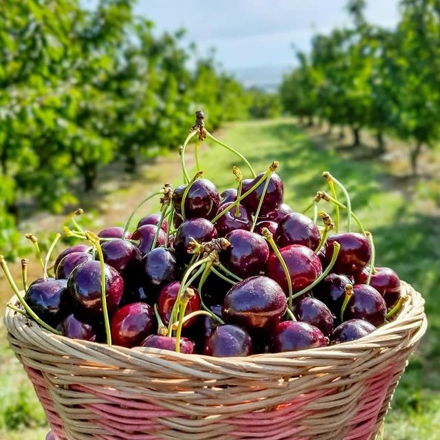 Travis Yarra Valley Guide - Cherry Picking at Cherryhill Orchards