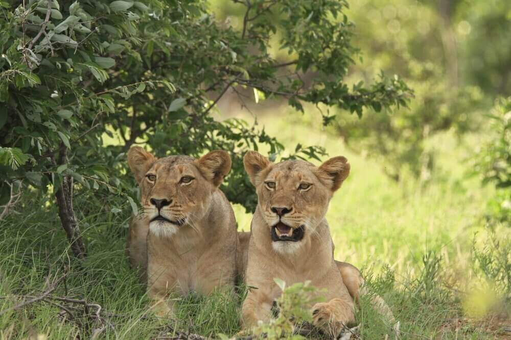 The Lions of Kitara