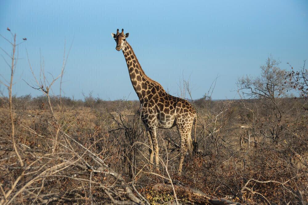 A giraffe at The Last Word Kitara.