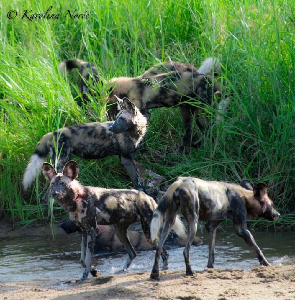 safari+wild+dog.jpg