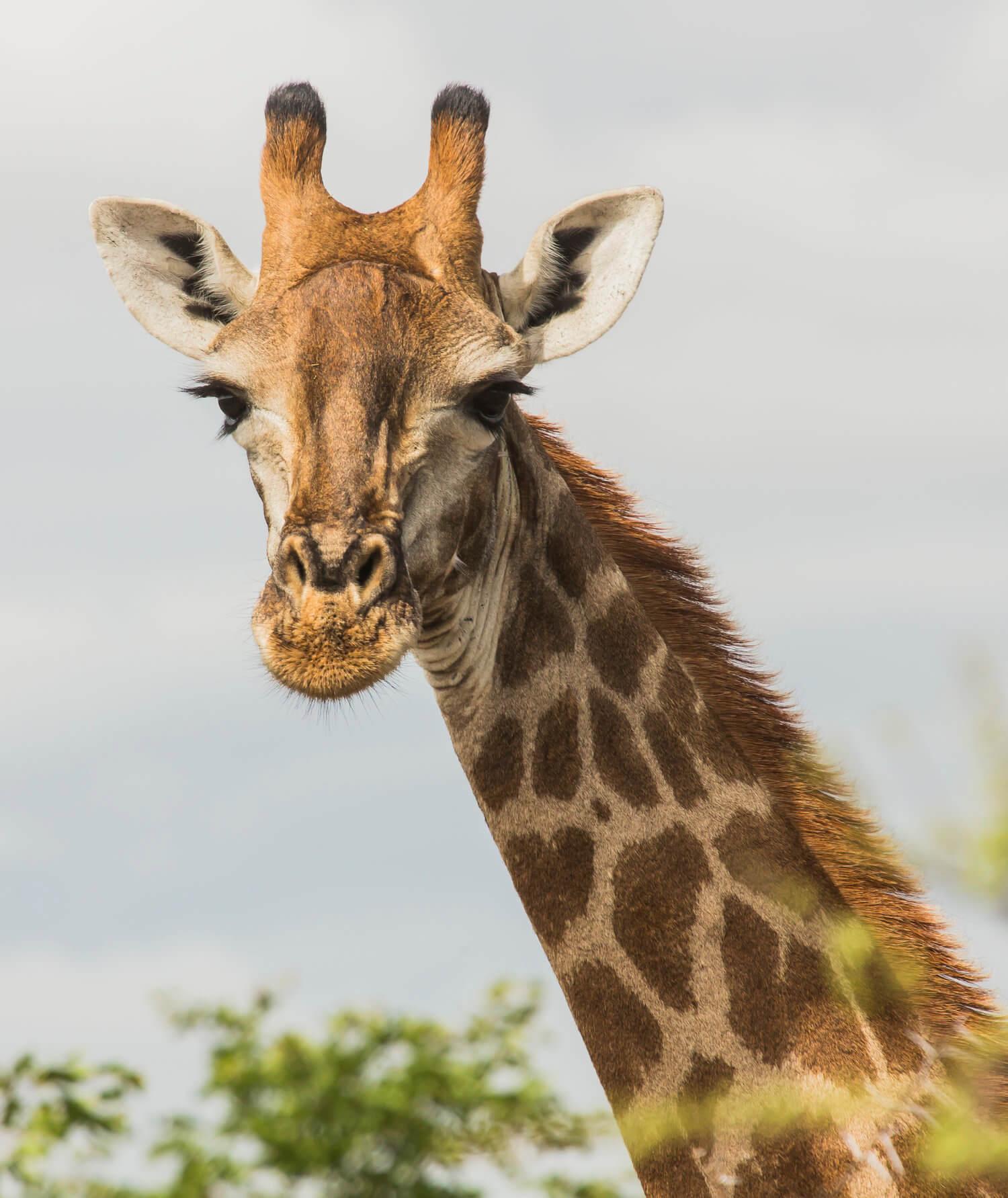 Five Giant Giraffe Facts