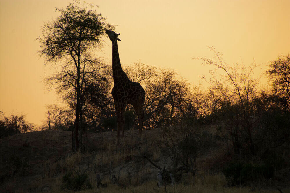 Giraffe+-++The+Last+Word+Kitara.jpg