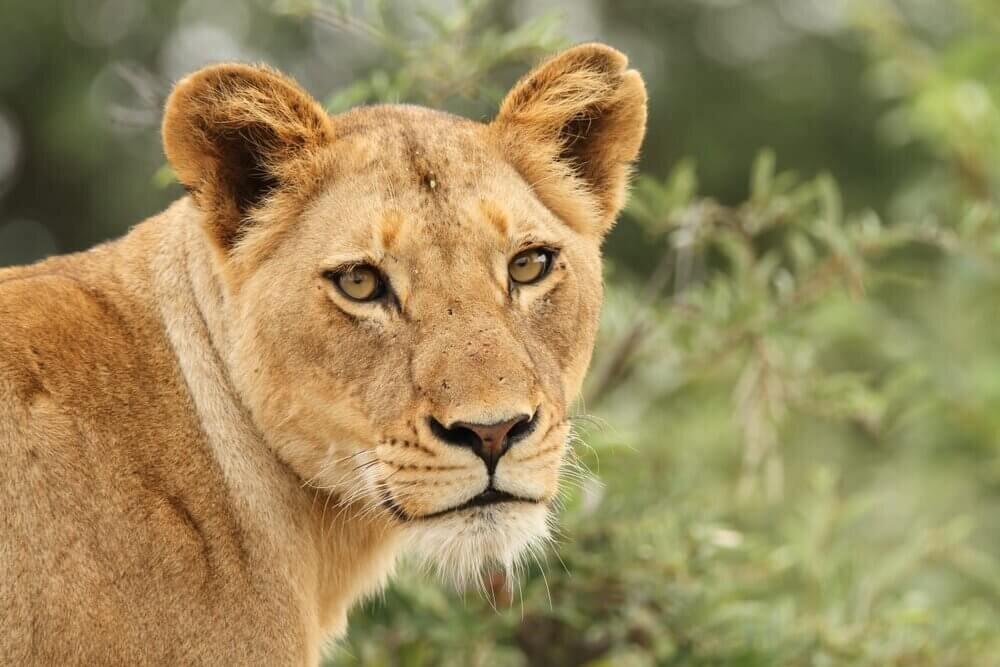 The+Last+Word+Kitara+female+lion.jpg