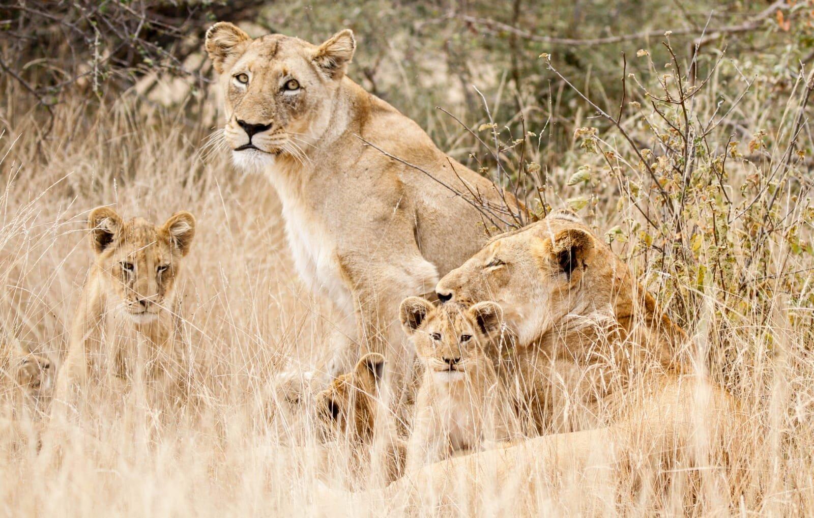 The Last Word Kitara lion cub