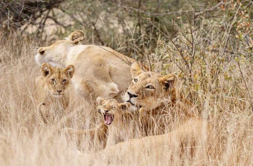 New+Lion+cubs+The+Last+Word+Kitara.jpg