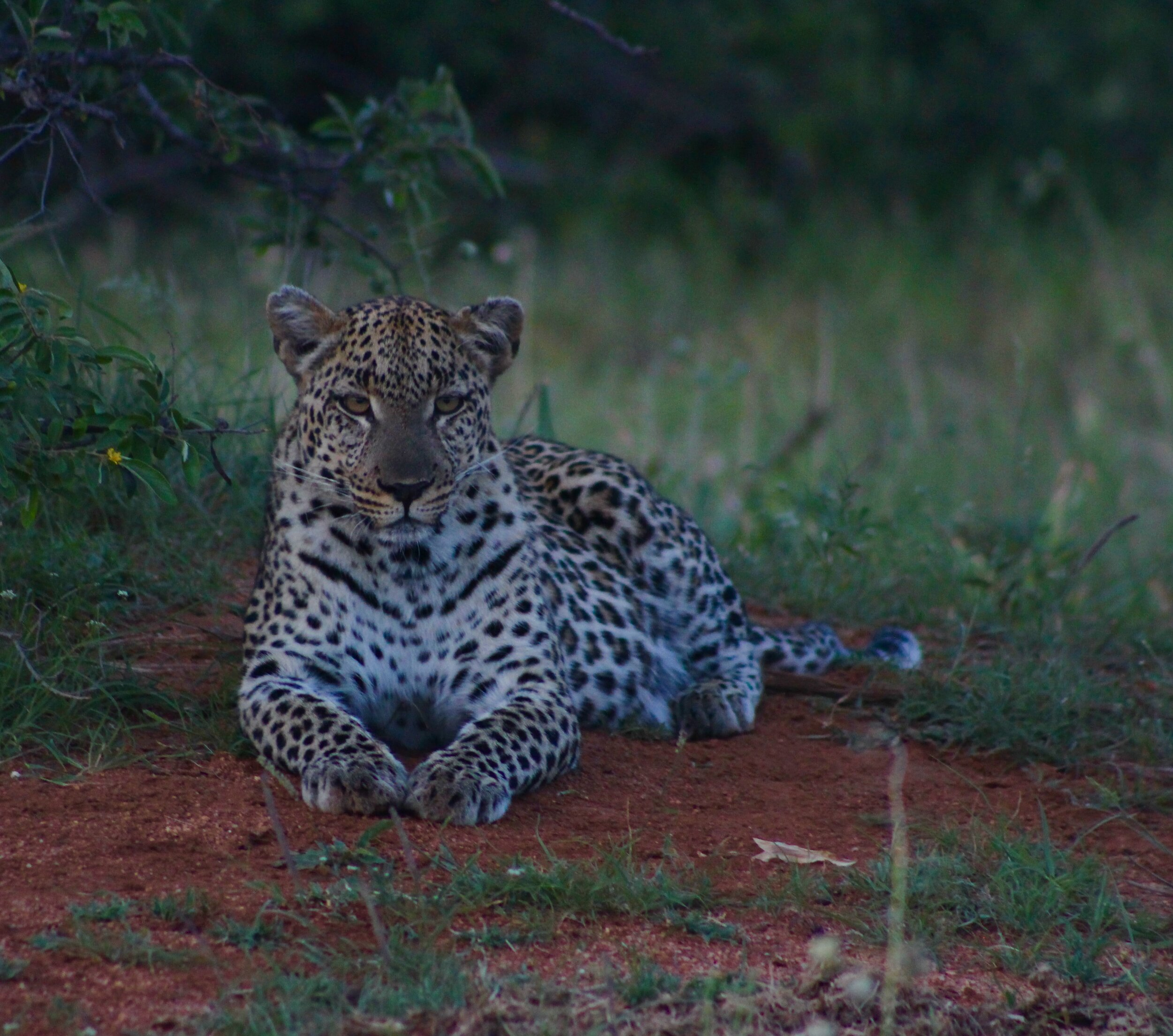 The Last Word Kitara young female leopard