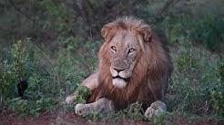 Timbila Lion Pride