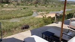 Hippopotamus grazing at Last Word Kitara