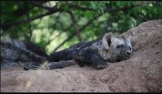 Hyena cubs at play in den