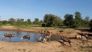 Wild dogs and Hyenas at dam