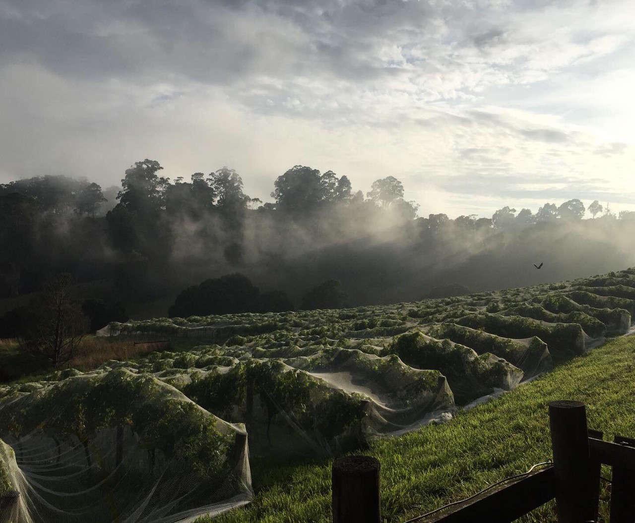 Vignes du domaine Memento Mori dans la brume
