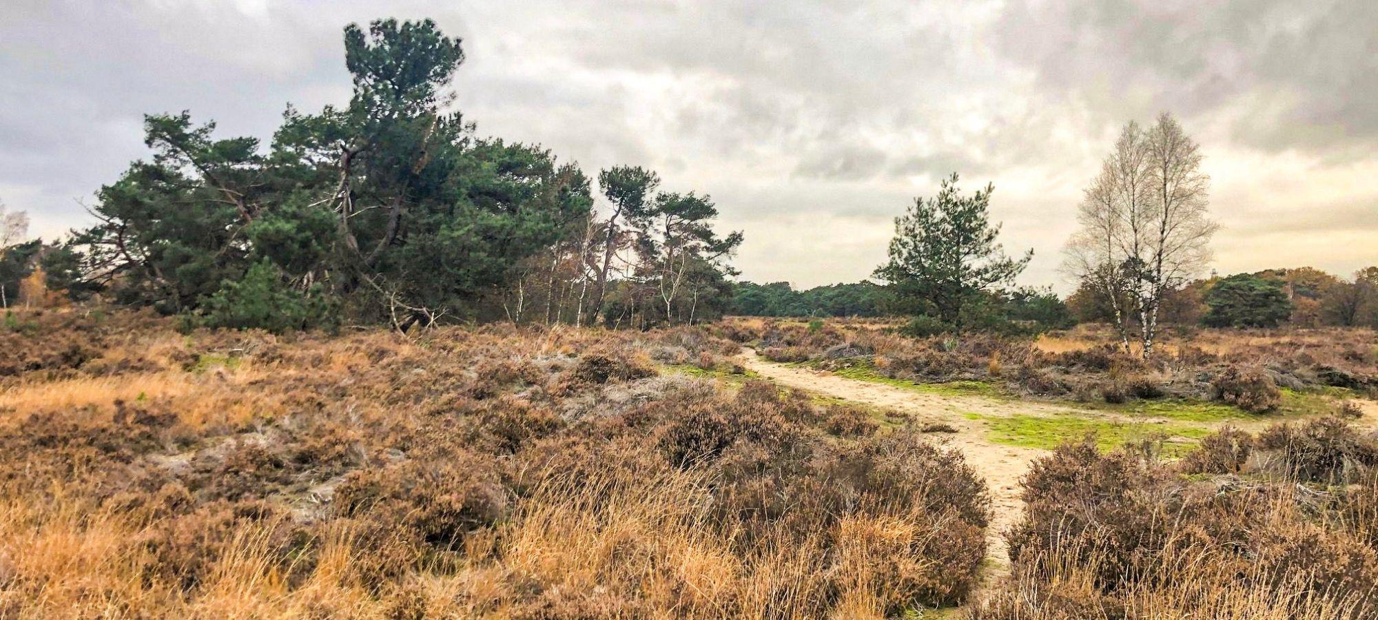 The heath and shrubs in fall hues at Kalmthoutse Heide in Antwerp, Belgium.