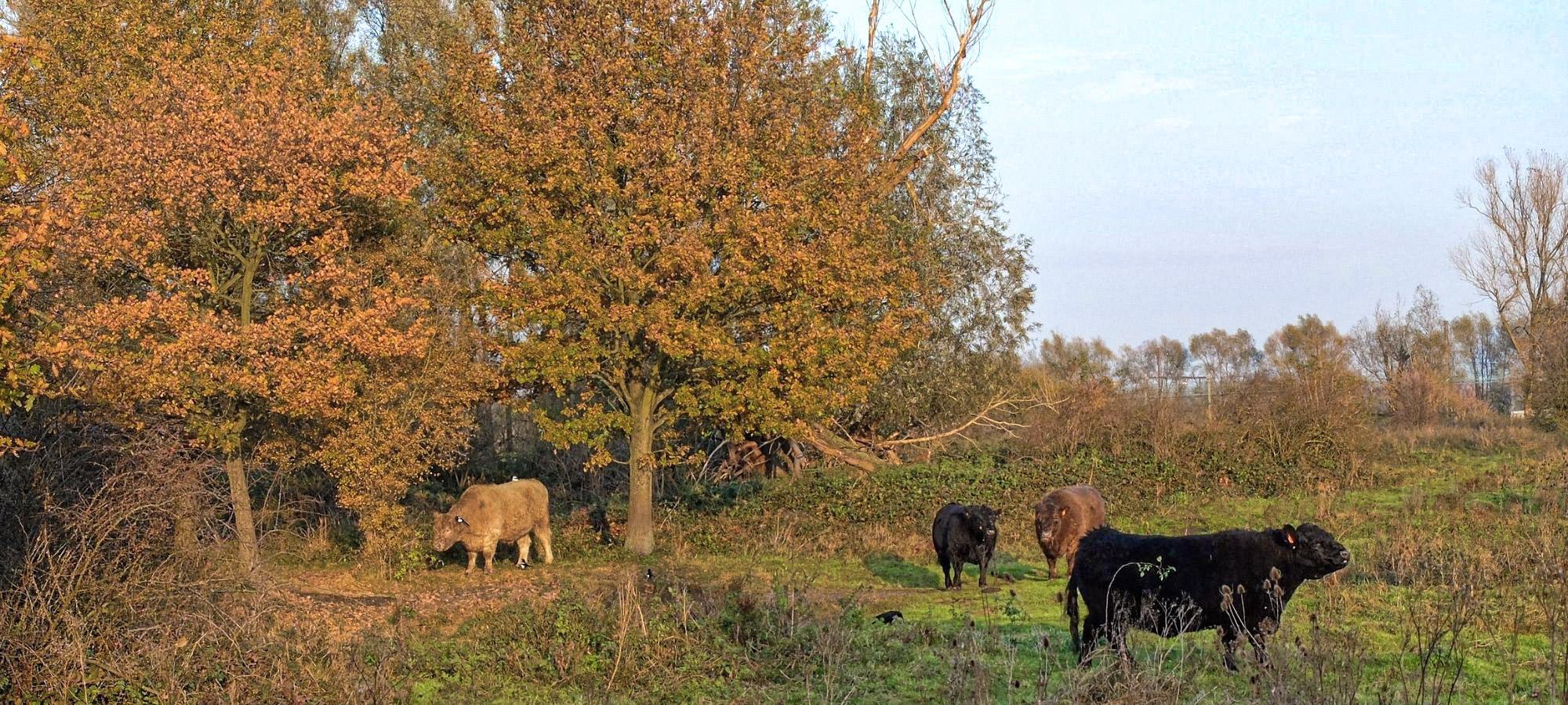 Four Scottish highland cattle grazing in a field in de Oude Landen nature reserve in autumn, Antwerp
