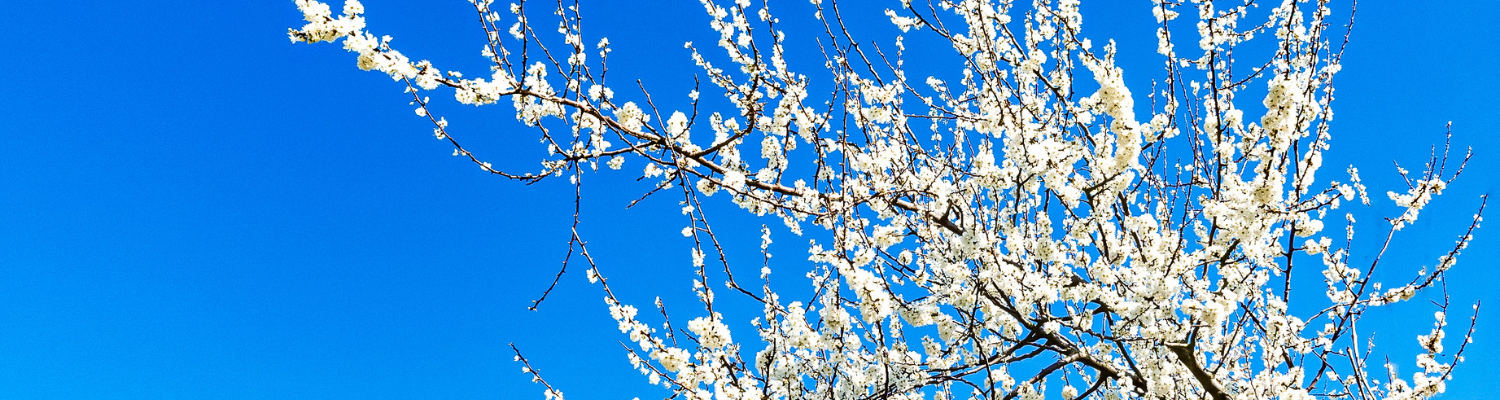 Belgium Blossom Spotting: How to see Haspengouw this Spring