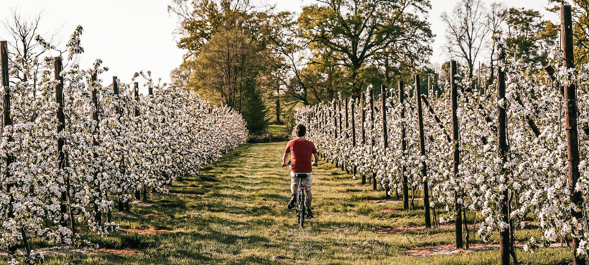 Man riding a bike on the Bloesemroute, Belgium