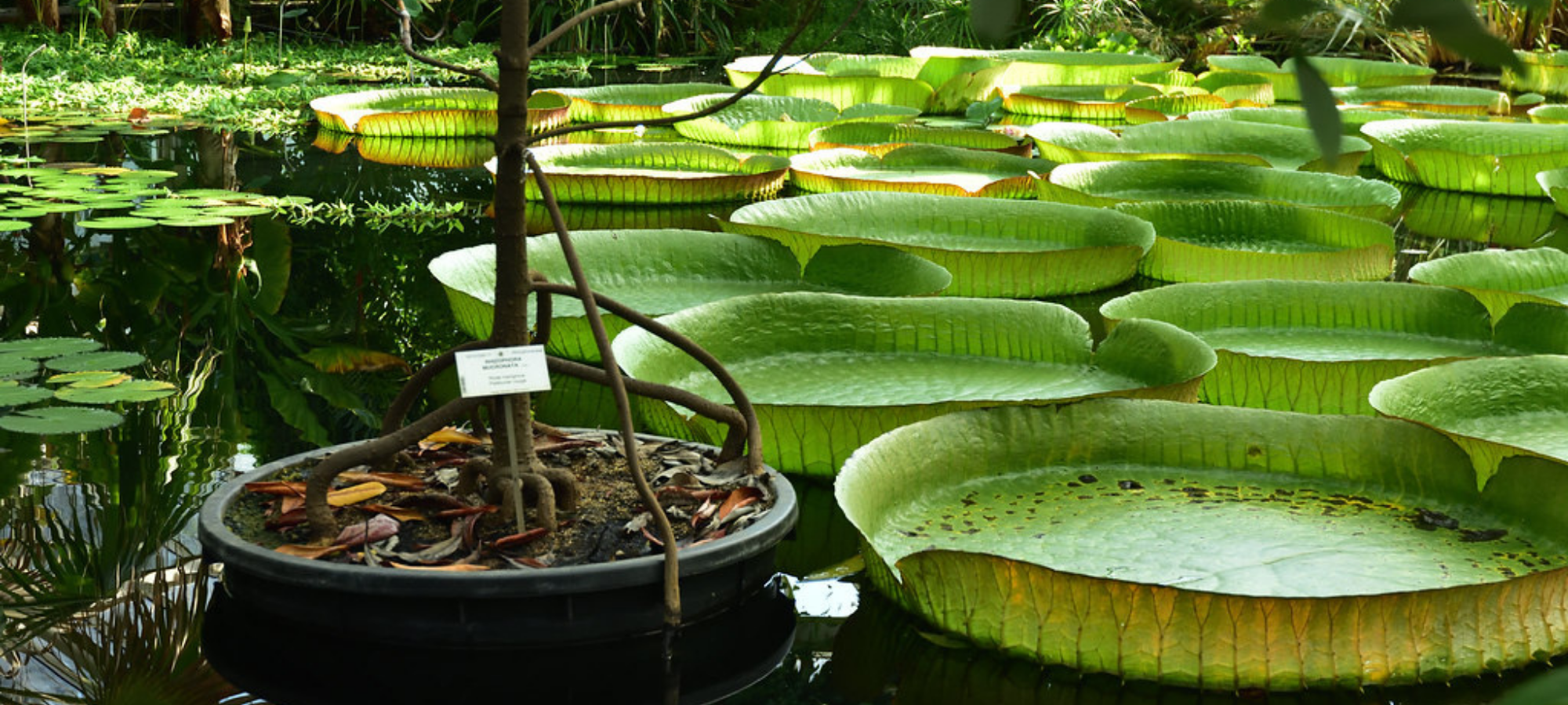 A large pond filled with lily pads and botanical plants at Meise Botanical Garden, Belgiumt
