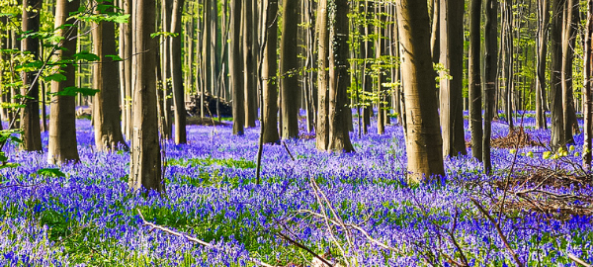 A woodland with many trees and a sea of bluebells at Hallerbos, Belgium