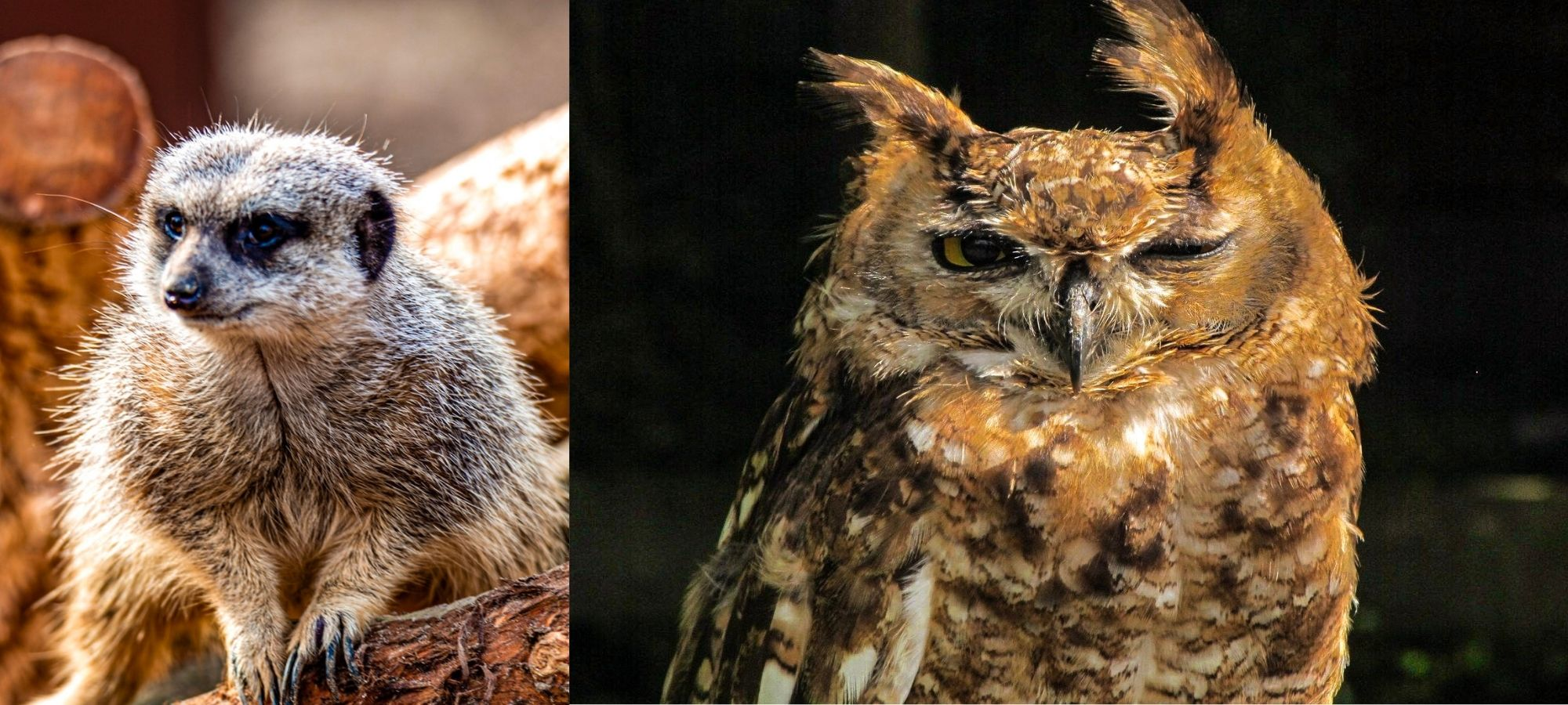 Left: meerkat perched on a log. Right: brown owl both at an animal sanctuary