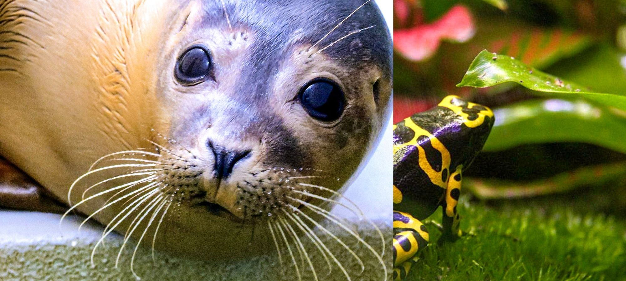 Left: Seal looking directly at camera. Right: a black and yellow frog.