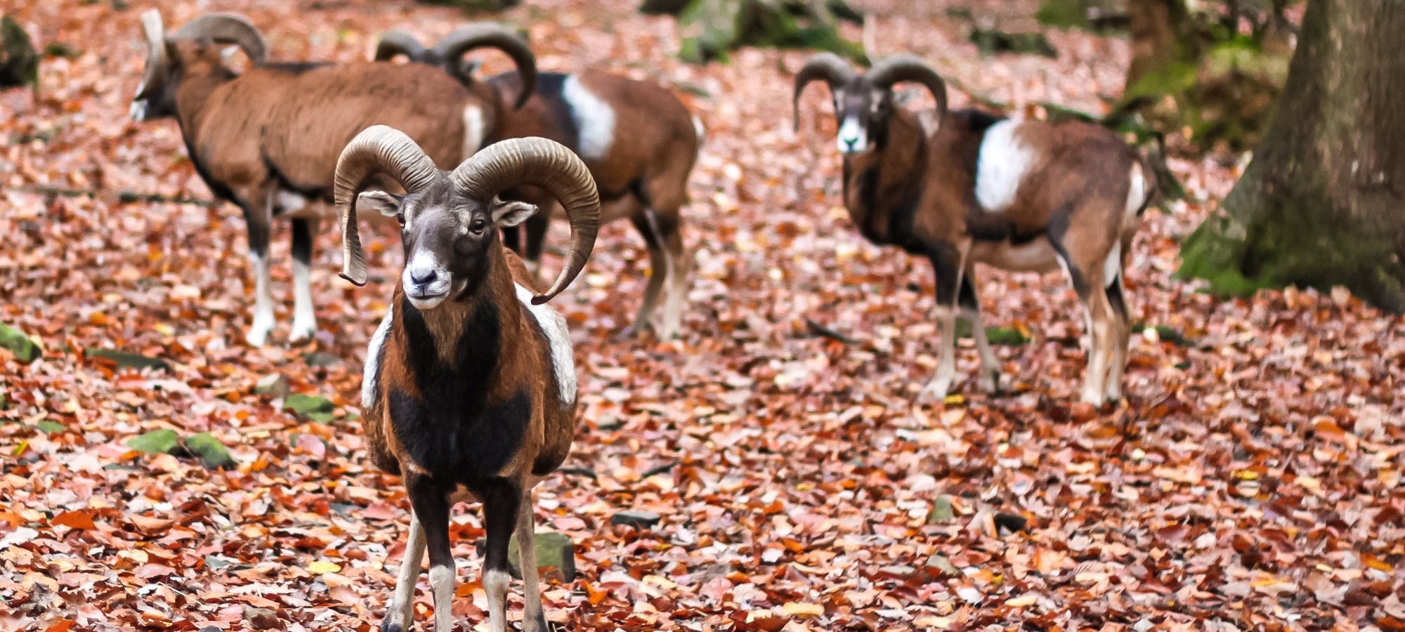 Curved horned goats at Le parc a gibier, Ardennes, Belgium