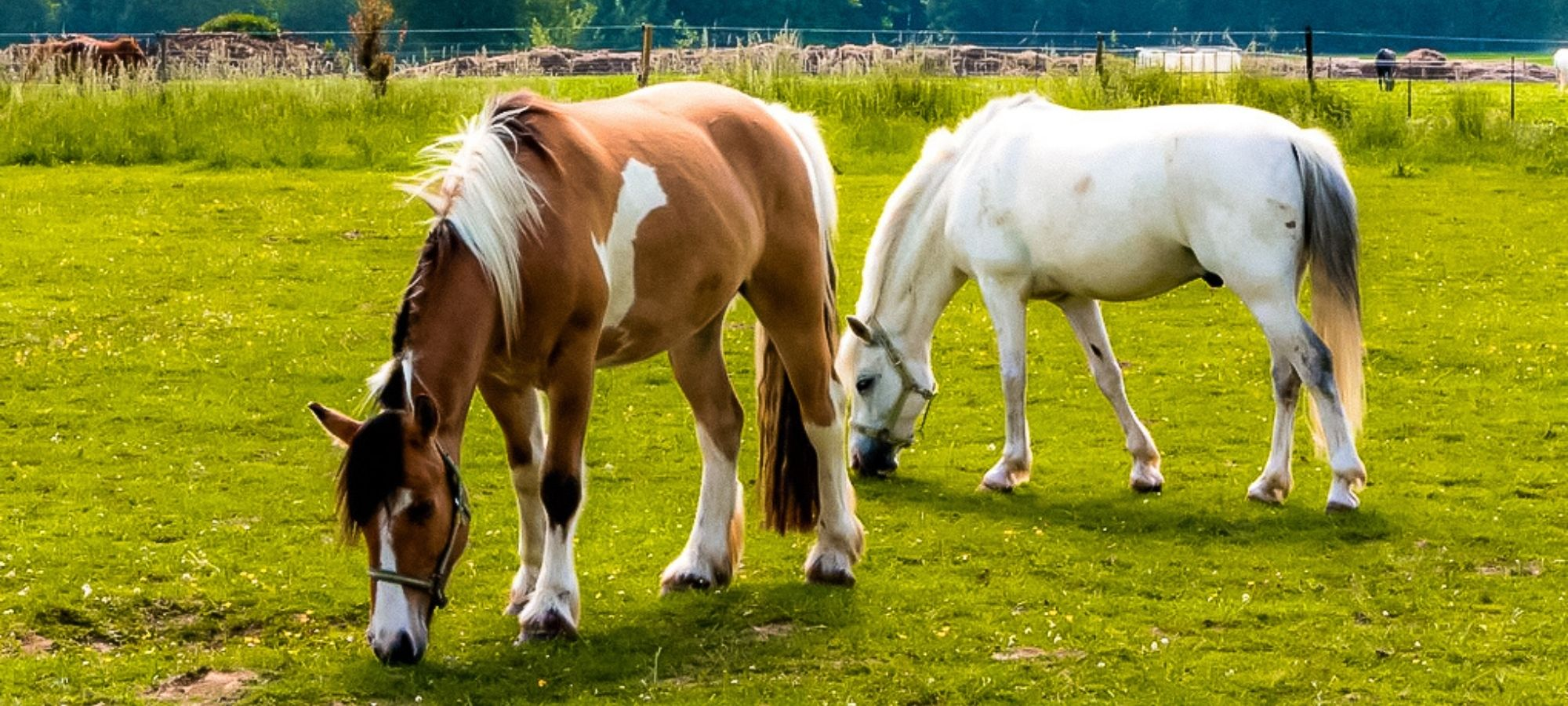 Two horses in a field eating grass in an animal shelter, Le Rêve d'Aby, Belgium