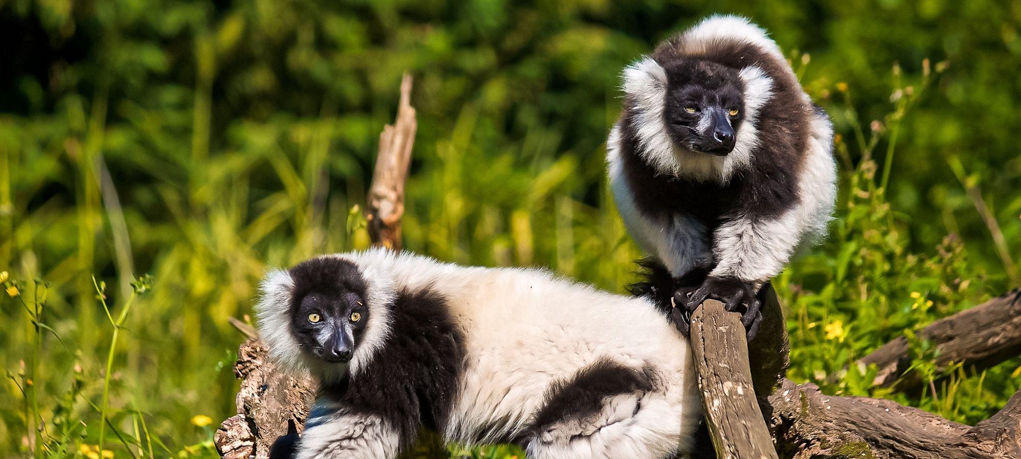 Two Black-and-white ruffed lemur, Pakawi Park, Belgium