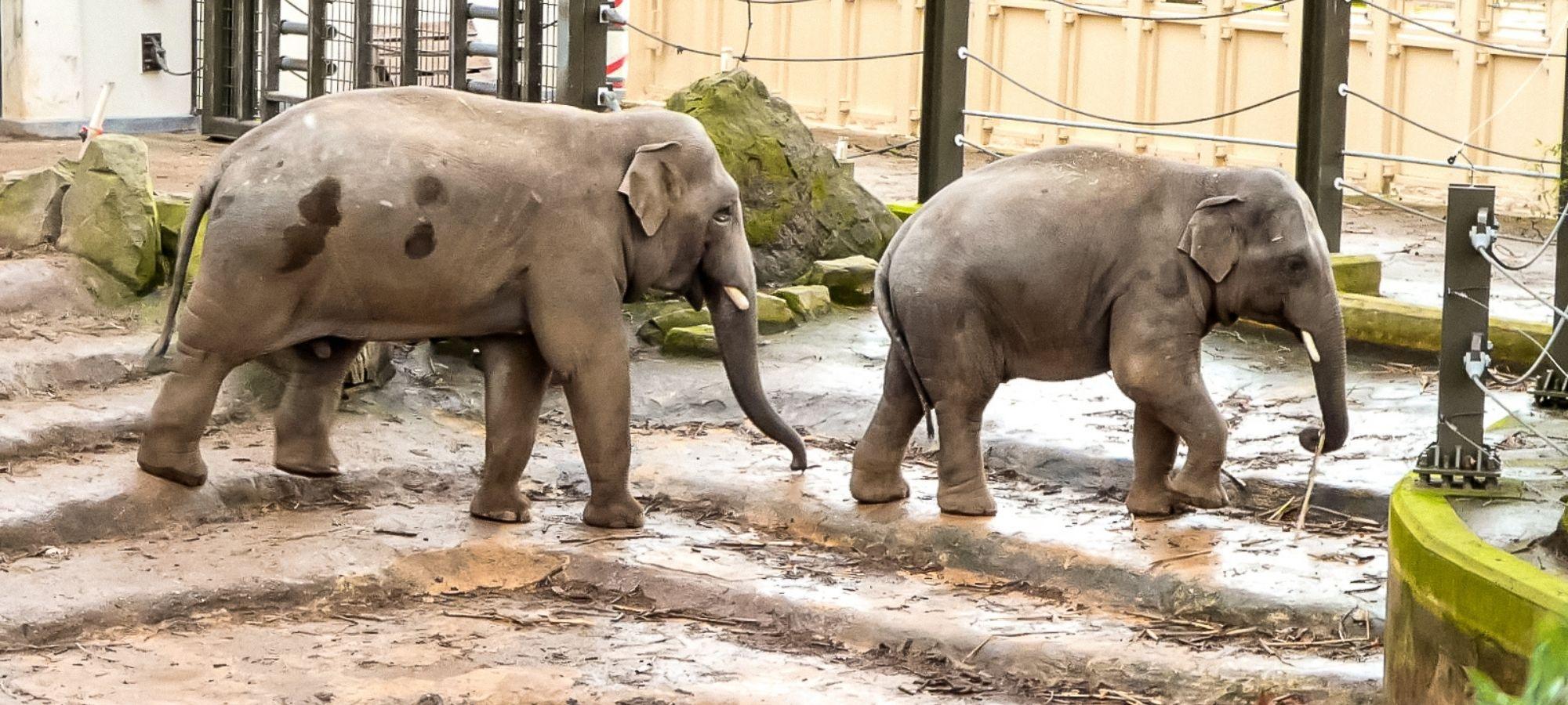 Two elephants in a zoo animal enclosure at Planckendael Zoo, Belgium