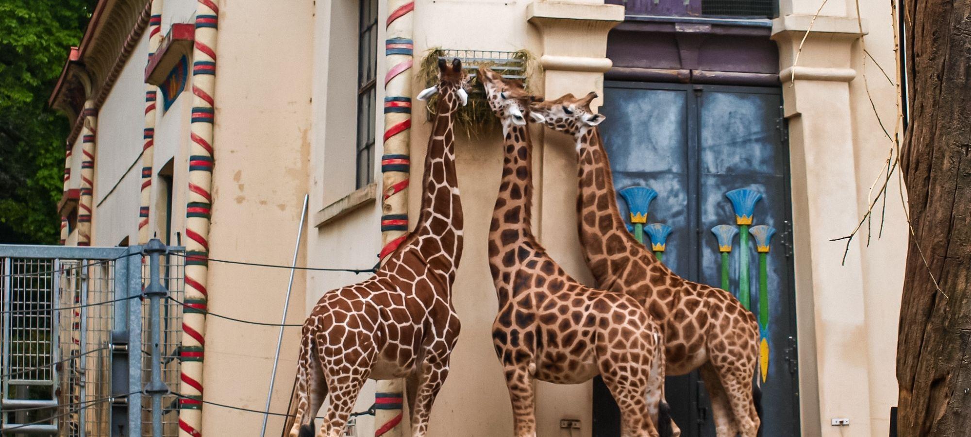 3 giraffes eating in an African themed zoo enclosure, Belgium