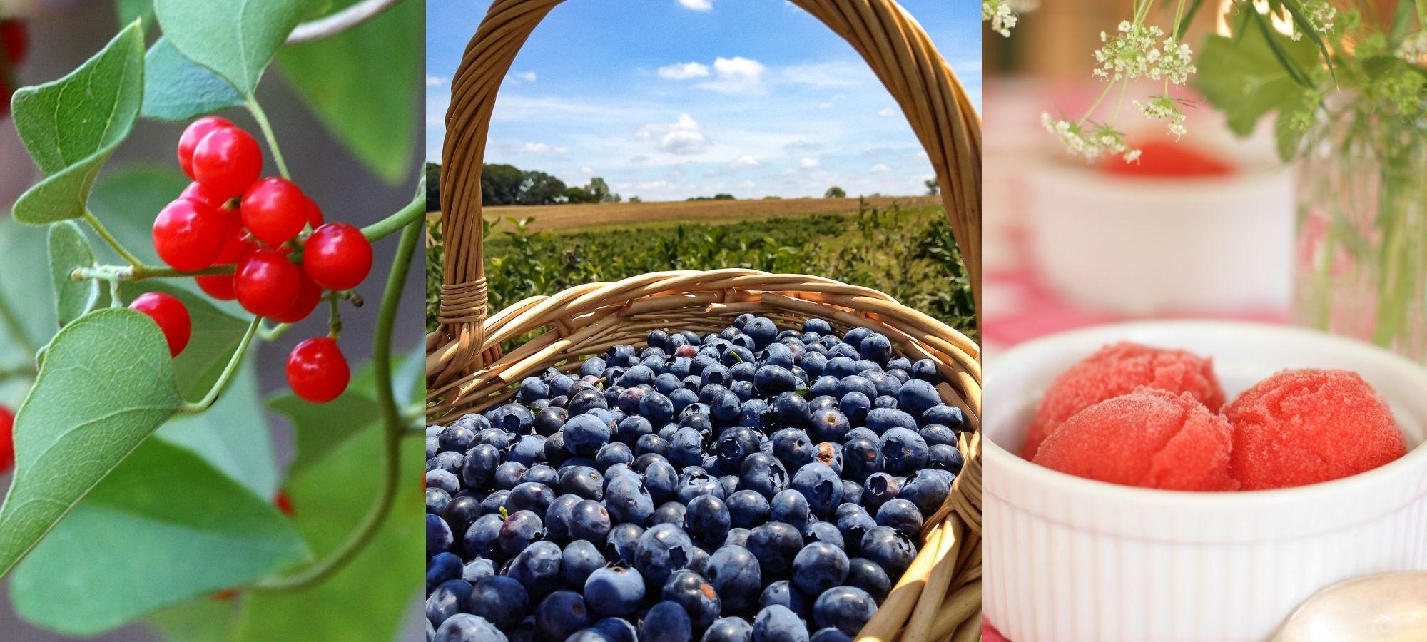 A basket filled with freshly picked blueberries at O'Bio Self Harvesting Garden in West Flanders, Belgium