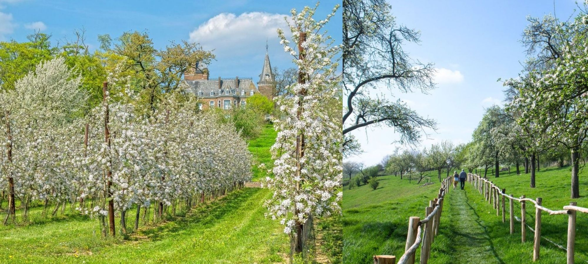 Rows of blossoming orchards in Borgloon, Limburg