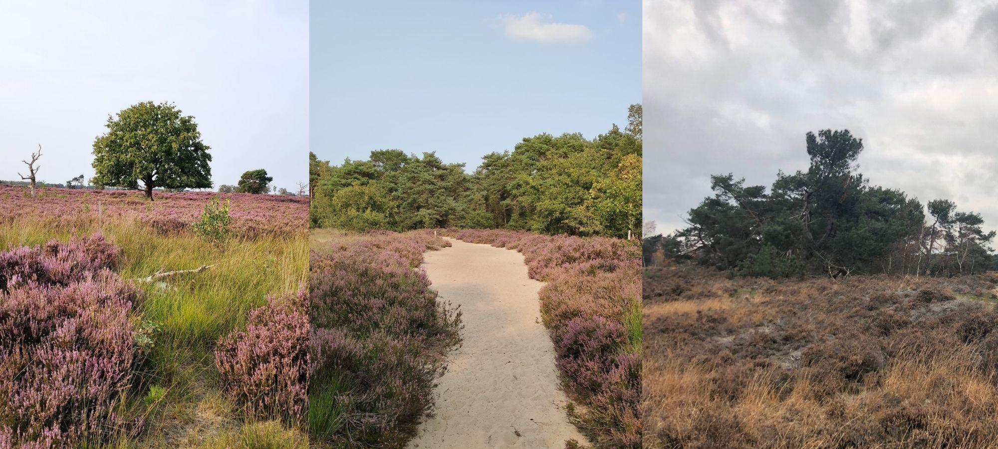 Heathlands and trees in Kalmthoutse Heide, Antwerp