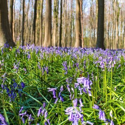Bluebells in Hallerbos, Belgium