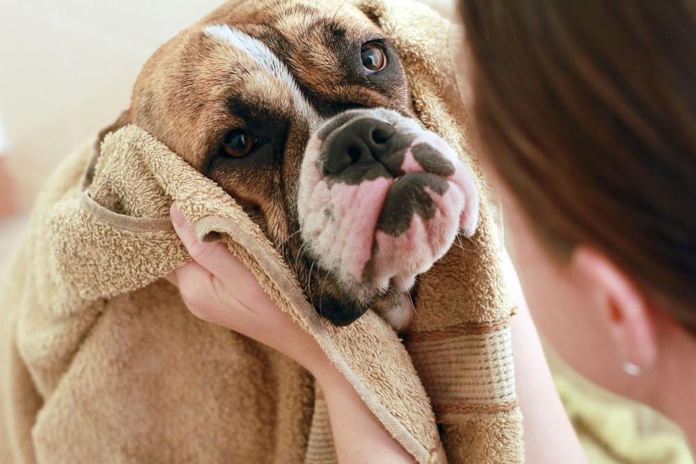 cute boxer dog in towel