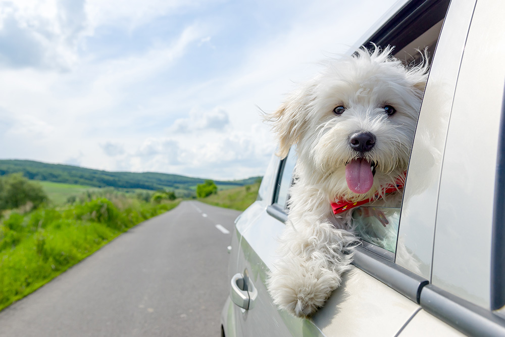 A fluffy white dog looking out the window of a car at the camera. Wide open road ahead on a pretty day.