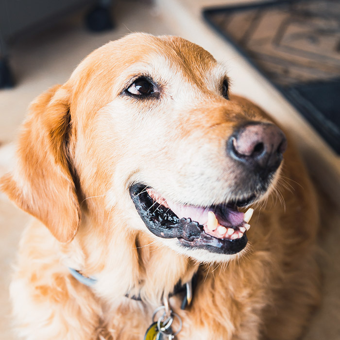 A golden retriever looks to the side of the frame, mouth partially open.