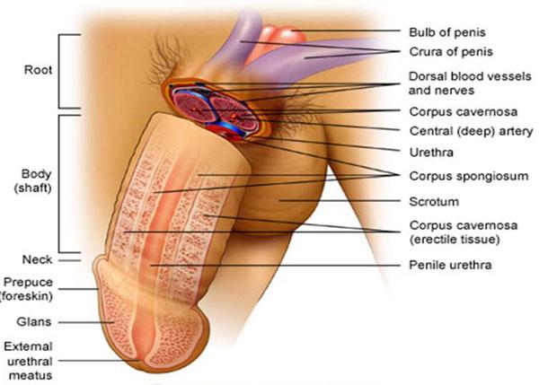 Cấu tạo bộ phận sinh dục nam bên trong