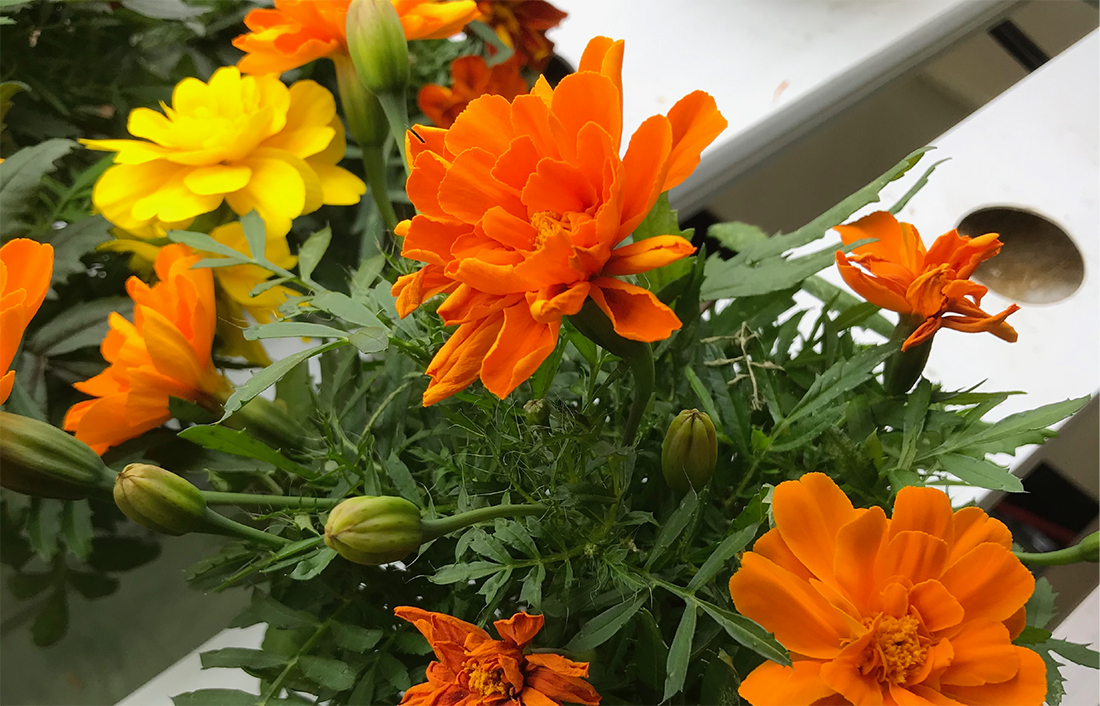 A close up of orange and yellow marigold flowers grown in our garden.