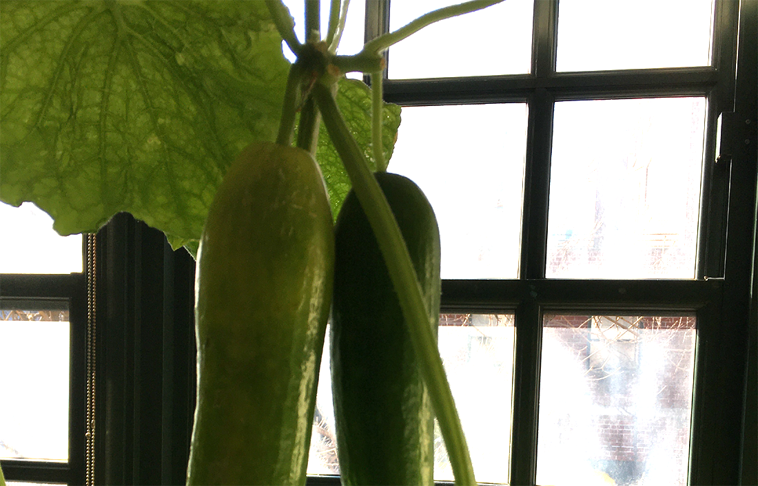 A picture of 3 cucumbers hanging from a vine in front of a window. They were grown in our garden.
